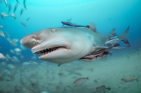 lemon shark, Negaprion brevirostris, remora, sharksucker, Jupiter, Florida, USA, Atlantic Ocean