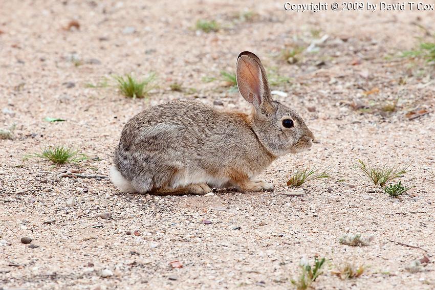 Desert Cottontail Rabbit, Tucson, AZ, USA