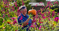BNPS.co.uk (01202) 558833. <br /> Pic: CorinMesser/BNPS<br /> <br /> Pictured: Forde Abbey gardener Johanna Witts with pumpkins in the Kitchen Garden which have been grown for the annual pumpkin roll. <br /> <br /> Pumpkin farmers have begun harvesting their crop in the late summer sunshine.<br /> <br /> While many farmers and wholesalers say it has not been a great year for the autumnal fruit, these farms have some squashes ready to be cut.<br /> <br /> Forde Abbey in Chard, Somerset, have beaten the odds with a decent crop in their kitchen garden.<br /> <br /> Gardener Jo Witts said they were expecting to harvest around 200 pumpkins which will be left to dry out ready for pumpkin rolling in the half term holidays.<br /> <br /> At Sopley PYO Farm in Christchurch, Dorset, families have been getting in there early to pick their pumpkins before Halloween.