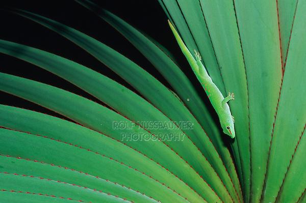 Madagascar giant day gecko (Phelsuma grandis),adult, Madagascar, Africa