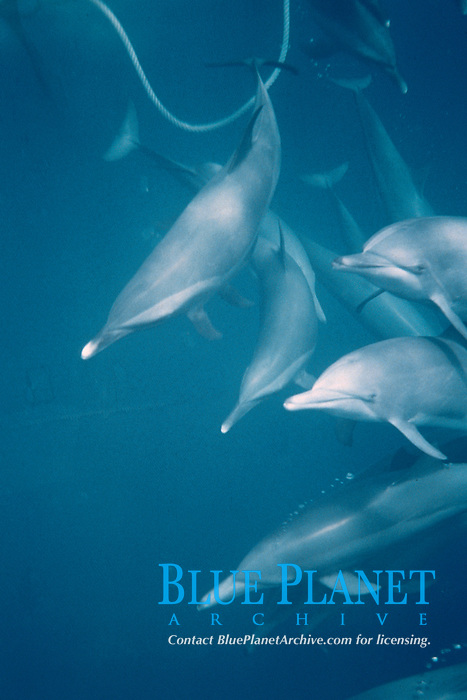 pantropical spotted dolphins, Stenella attenuata, and spinner dolphins, Stenella longirostris, trapped in tuna net, Pacific Ocean