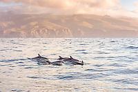 Altantic Spotted Dolphin, Stenella frontalis, La Gomera, Canary Islands, Spain, Atlantic Ocean