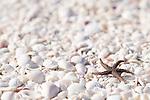Sanibel Island, Florida; a small starfish on the shell covered beach © Matthew Meier Photography, matthewmeierphoto.com All Rights Reserved