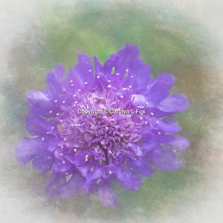 A texture was added to this picture of a Pin Cushion flower.