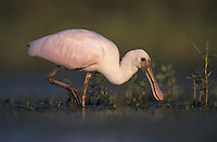 Roseate Spoonbill, Ajaia ajaja, young feeding, Lake Corpus Christi, Texas, USA