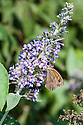 Meadow Brown butterfly (Maniola jurtina) on buddleia, early September.