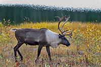 Woodland Caribou or forest-dwelling caribou (Rangifer tarandus caribou) bull along edge of subalpine lake.  British Columbia.  Fall.