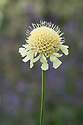 Giant scabious (Cephalaria gigantea syn. Scabiosa gigantea), late June.