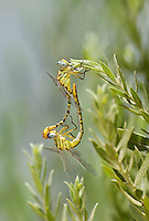333920014 a wild pair of brimstone clubtails stylurus intricatus in mating position or in wheel perch on a plant stem near the drew road canal west of el centro imperial county california