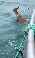 BNPS.co.uk (01202 558833)<br /> Pic: NatashaLloyd/BNPS<br /> <br /> Pictured: Yeehaw! The deer is lassoed and saved before it was pulled onto the boat<br /> <br /> WITH VIDEO -https://youtu.be/MBjPMXDfysU<br />  <br /> This is the moment a fisherman and a farmer saved the life of a drowning deer after creating a makeshift lasoo to help hook it out of the water.<br /> <br /> Mark Weatherman, 56, was chartering a mackerel fishing boat in Weymouth Harbour, Dorset, when he spotted the baby female deer in distress half-a-mile from the shore.<br /> <br /> He brought his vessel alongside the exhausted animal while Morgan Lloyd, 33, made the lasoo out of a length of fishing rope as his three young children pleaded with them to 'save Bambi'.<br /> <br /> Morgan, a dairy farmer from Herefordshire, threw the loop twice towards the stricken deer but missed before getting lucky on his third attempt.