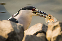 A Black-crowned night heron prowling the waters at a marina has nabbed a sculpin.