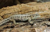 Zauneidechse, Zaun-Eidechse, Weibchen, Lacerta agilis, sand lizard