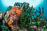 Munda, Western Province, Solomon Islands; a large colony of black sun corals and colorful sponges growing on the reef in shallow blue water