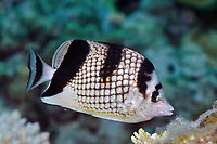 Chaetodon argentatus, Asian butterflyfish, Okinawa, Japan, Pacific ocean