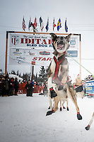 Jumping for joy at the offical start of the 2015 Iditarod in Fairbanks, Alaska.<br /> <br /> (C) Jeff Schultz/SchultzPhoto.com - ALL RIGHTS RESERVED<br />  DUPLICATION  PROHIBITED  WITHOUT  PERMISSION