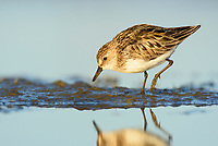 Semipalmated Sandpiper (Calidirs pusilla) feeding on coastal mud flats. Yukon Delta National Wildlife Refuge. June.