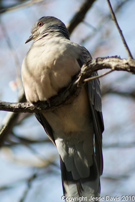 Two Turtle doves in a plum tree.