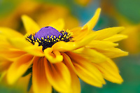 Goldilocks Black Eyed Susan. Oregon