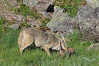 Wild Coyotes (Canis latrans)--mother picking up young pup that has wandered to far away from the den.  Western U.S., June.