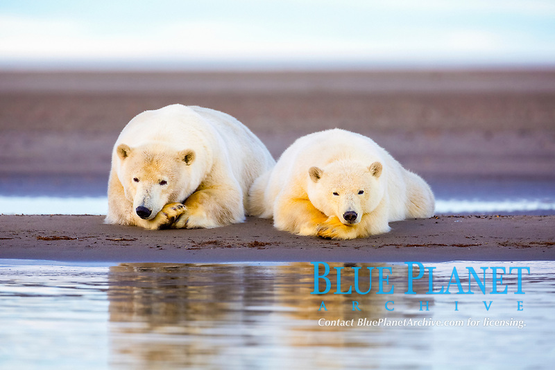 polar bear, Ursus maritimus, mother and cub, Barter Island, Arctic National Wildlife Refuge, Alaska, USA, Beaufort Sea, Arctic Ocean
