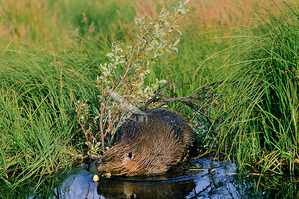 American beaver transporting willows back to main beaver pond for food.