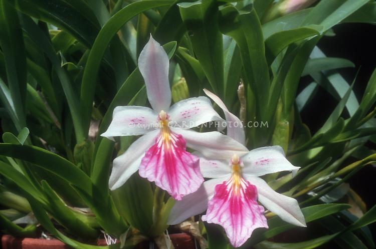 Miltonia spectabilis fragrant orchid species