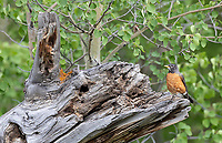 A robin perches on an old snag that used to house a bluebird nest several years back. A popular tree!