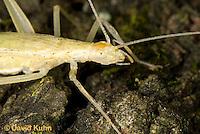 "0110-0908  Davis Tree Cricket, Details of Head, Oecanthus exclamationis ""Virginia""  © David Kuhn/Dwight Kuhn Photography"