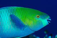 Blue parrotfish, fish, off Safaga coast, Red Sea, Egypt,