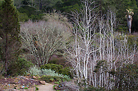 California native trees left to right - Juniperus grandis - Sierran Juniper; Quercus kelloggii (Black Oak); Populus tremuloides (Quaking Aspen);  (Washingtonia filifera (California Fan Palm) at East Bay Regional Parks Botanic Garden, Berkeley.