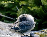 MC68-001b  Arctic Tern - young grooming self - Machias Seal Island, Bay of Fundy - Sterna paradisaea.