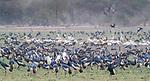 Central Africa , black crowned crane (Balearica pavonina), pink-backed pelican (Pelecanus rufescens), spur-winged goose (Plectropterus gambensis)