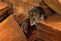 DEER MOUSE hiding in lumber in backyard shed..Coastal British Columbia, Canada..(Peromyscus maniculatus).