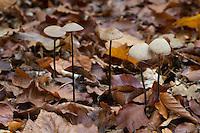 Langstieliger Knoblauchschwindling, Saitenstieliger Knoblauchschwindling, Knoblauch-Schwindling, Knoblauchpilz, Würzpilz, Marasmius alliaceus, Mycetinis alliaceus, Garlic Parachute