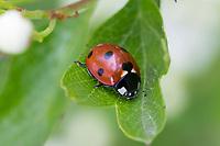 """Siebenpunkt-Marienkäfer, Siebenpunkt, Marienkäfer, 7-Punkt, 7-Punkt-Marienkäfer, Coccinella septempunctata, seven-spot ladybird, sevenspot ladybird, 7-spot ladybird,  seven-spotted ladybug, """"C-7"""", La coccinelle à sept points, Coccinellidae"""