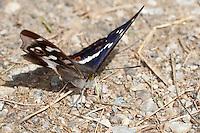 Großer Schillerfalter, Männchen, nimmt mit Saugrüssel Mineralien vom Boden auf, Apatura iris, Purple Emperor