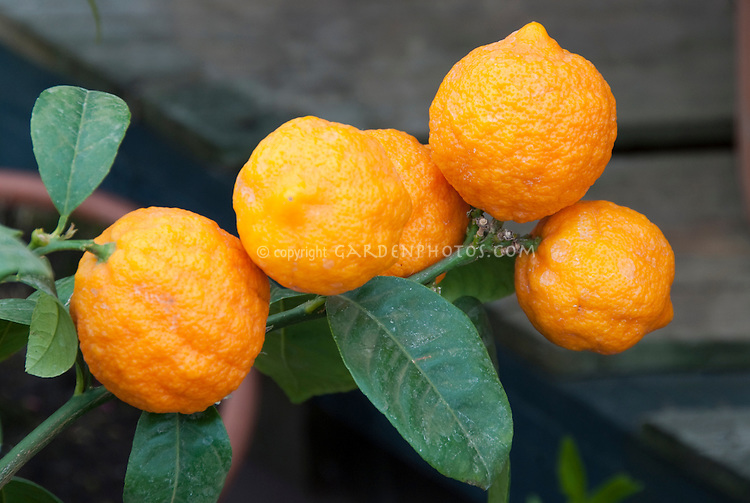 Sweet lemon Citrus limetta growing on tree plant branch with five fruits visible