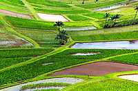 Taro Fields and palm trees in the beautiful Hanalei Valley, in the northern part of Kauai Island in Hawaii