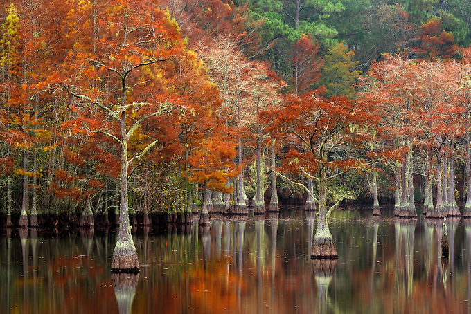 Beautiful fall color on old cypress trees reflected on the calm water of this small cove.