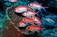 Blackbar soldierfish, Myripristis jacobus, Caribbean, Atlantic Ocean
