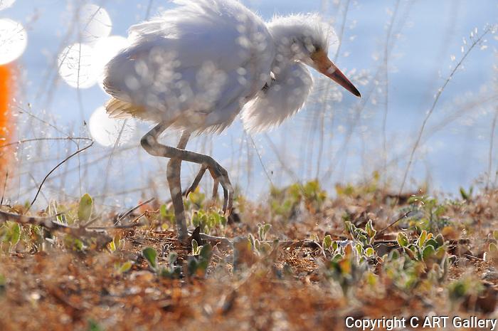 Baby egret.