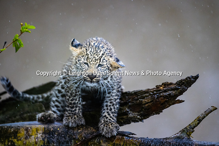 Pictured:  Sequence 2 of 8:  The cub looks to shake the rain off<br /> <br /> A leopard cub shakes the rain off its fur before cuddling up to its mother.  The newborn sent raindrops flying as it shook its head from side to side on a tree branch.<br /> <br /> The cub appeared energised by the rain and encouraged his reluctant mother to play.  These photographs were taken at the Masai Mara National Reserve in Kenya by wildlife photographer Leighton Lum.  SEE OUR COPY FOR DETAILS.<br /> <br /> Please byline: Leighton Lum/Solent News<br /> <br /> © Leighton Lum/Solent News & Photo Agency<br /> UK +44 (0) 2380 458800