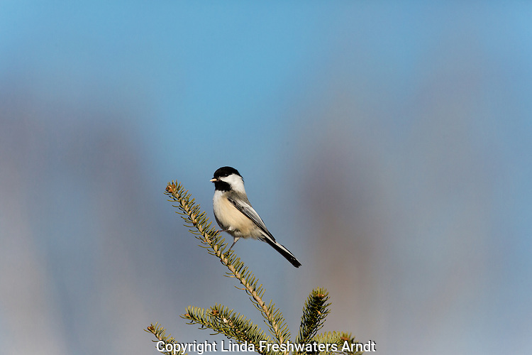 Black-capped chickadee holding cracked sunflower seed
