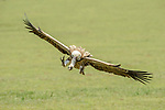 Adult Rüppell's (Ruppell's) Griffon Vulture (Gyps rueppellii) flying into carcass. Serengeti National Park, Tanzania.