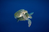 green sea turtle, Chelonia mydas, mating, Chichi-jima, Bonin Islands, Ogasawara Islands, UNESCO World Heritage Site,  Tokyo, Japan, Pacific Ocean