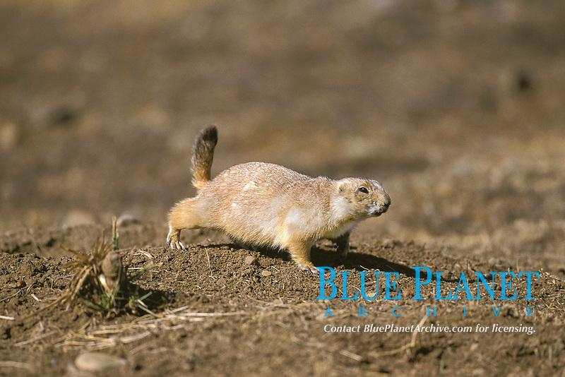 black-tailed prairie dog, Cynomys ludovicianus, adult, North America