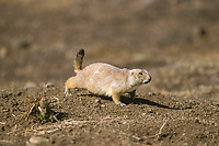 black-tailed prairie dog, Cynomys ludovicianus, adult, North America