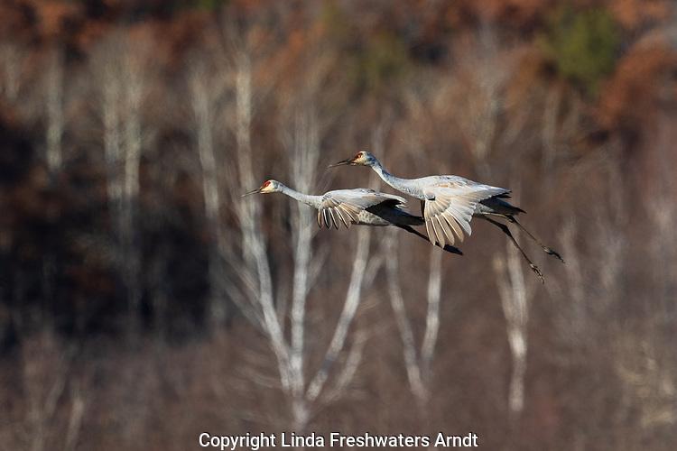 Sandhill cranes landing in Crex Meadows Wildlife Area.