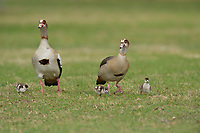 Egyptian Goose (Alopochen aegyptiaca), adults with chicks, Hill Country, Central Texas, USA