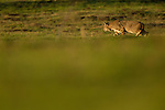 Bobcat (Lynx rufus) hunting in field, Point Reyes National Seashore, California